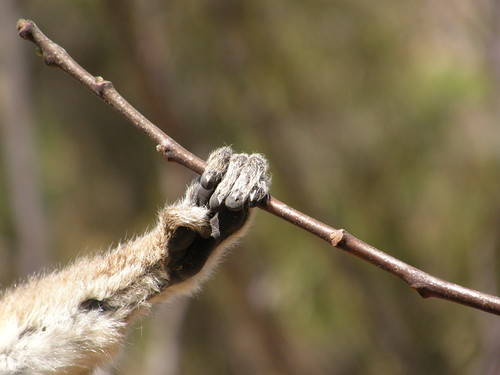 Lémur de cola anillada (Lemur catta), detalle de la mano
