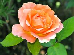 The Anniversary Rose
