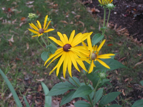 Sweet black eyed Susan