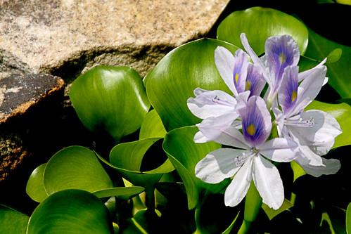 365-225 Water Hyacinth