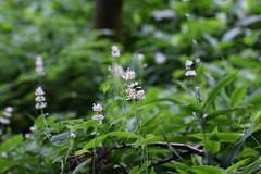 釜利谷市民の森のヤブミョウガ(Kamariya Community Woods)