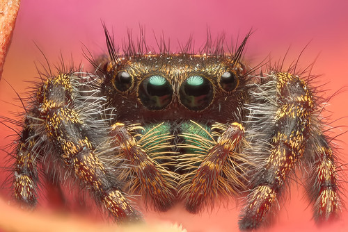 Phidippus clarus?