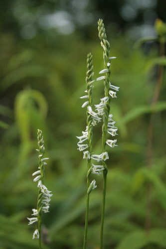 Slender Ladies'-tresses, Spiranthes lacera