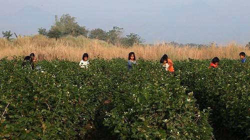 kids harvesting