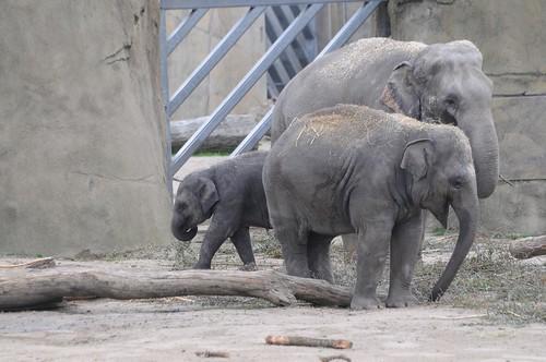 Asiatische Elefanten im Kölner Zoo