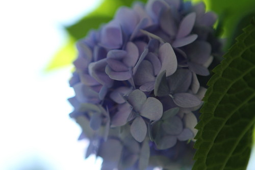 Endless Summer Hydrangea SOOC