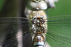 Dragonfly - Dorsal view of thorax