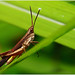 """Brown Grasshopper • <a style=""""font-size:0.8em;"""" href=""""http://www.flickr.com/photos/8038254@N06/4894509384/"""" target=""""_blank"""">View on Flickr</a>"""
