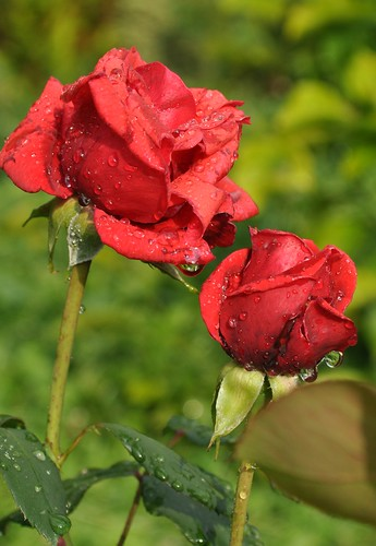 Two wet red roses