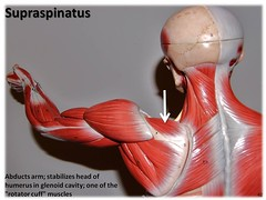 Supraspinatus - Muscles of the Upper Extremity...