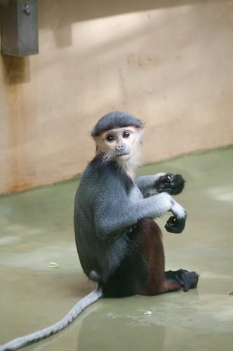 Rotschenkliger Kleideraffe im Kölner Zoo