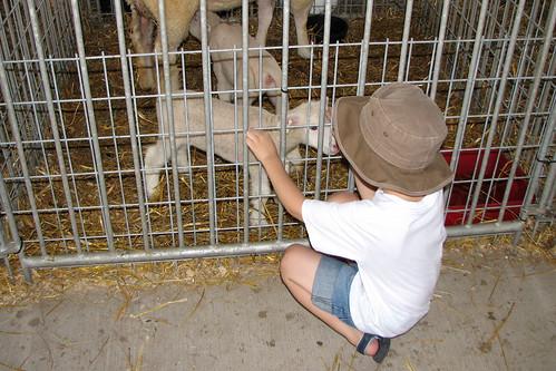 Bug petting the lambs