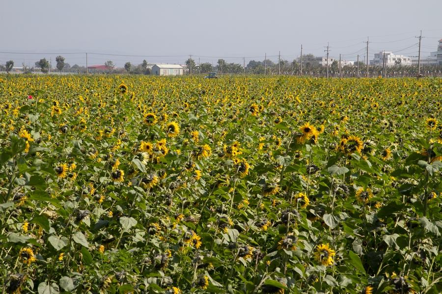 20110205_11_sunflower_04