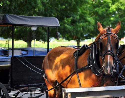 Amish horse, buggy