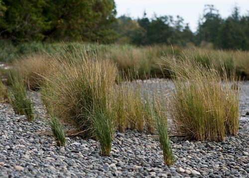 Spartina Densiflora - Denman Island