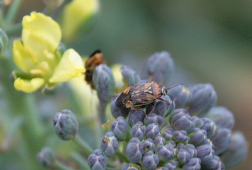 Tarnished Plant Bug on broccoli
