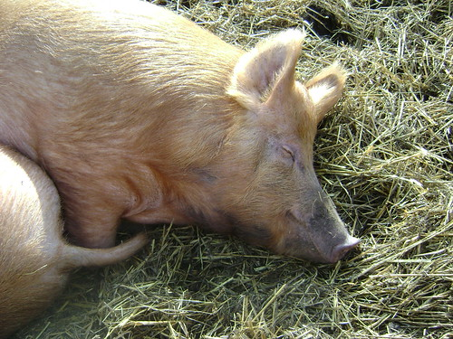 Ginger pig!