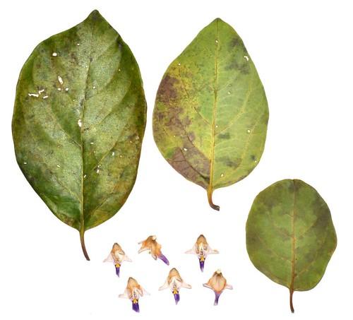 Gmelina fasiculiflora (Northern White Beech)