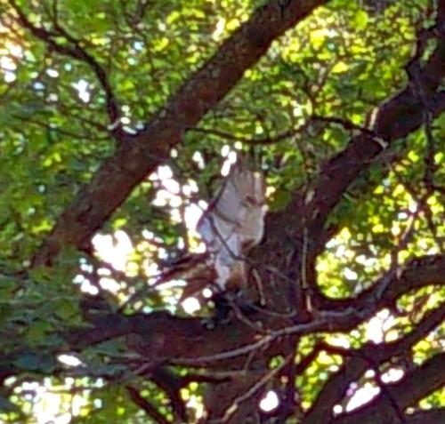 Hawk or Falcon in Prospect Park