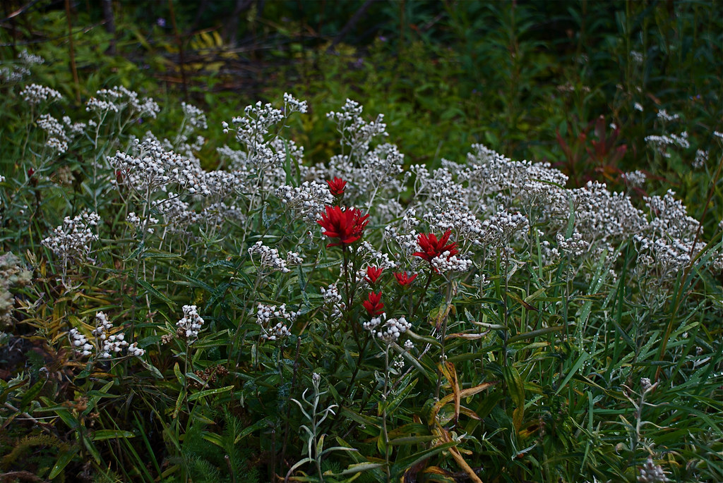 Pearly everlasting and Paintbrush