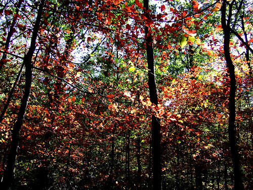 black gum foliage