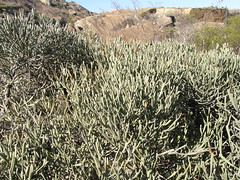 Euphorbia oncoclada