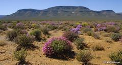 Tankwa Karoo wild flowers