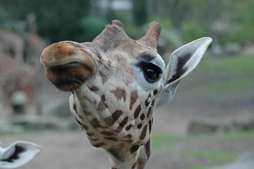 Uganda-Giraffe im Dierenpark Emmen im April 2004