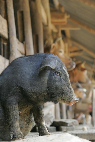 Lung Pu, an indigenous breed of black pig in northern Viet Nam