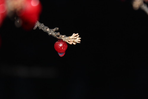 November 10, 2010. Buffalo Berries