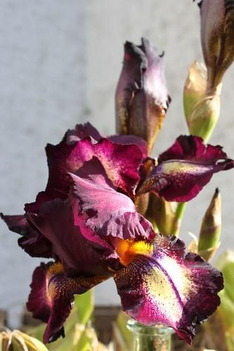 20100918-064_purple-iris