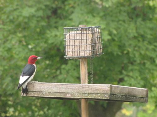 269/365 Red-headed Woodpecker