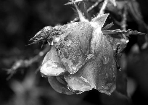 slushy rose