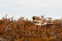 Lapland Longspur | lappsparv | Calcarius lapponicus