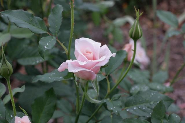 Rosebud after Rain