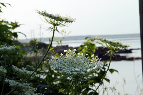 Queen Anne's Lace bay