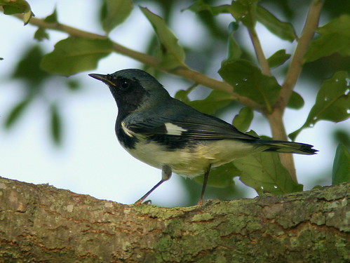 Black-throated Blue Warbler male 2-20100916