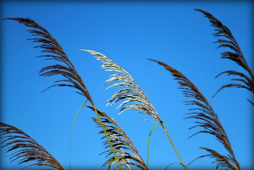 Morning light pampas grass