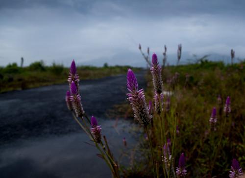 Maggenta Flower