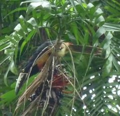Ein Tucan in Yaxha, Detail