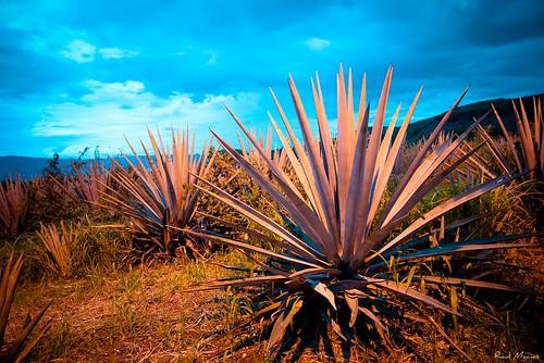 Agave Azul , Hacienda la Cofradia