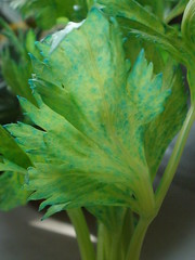 Blue Celery Leaves