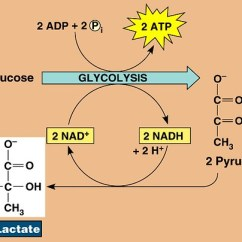 Electron Transport Chain Diagram For Dummies Ford Mondeo Mk4 Radio Wiring Simple Glycolysis Cycle ~ Elsavadorla