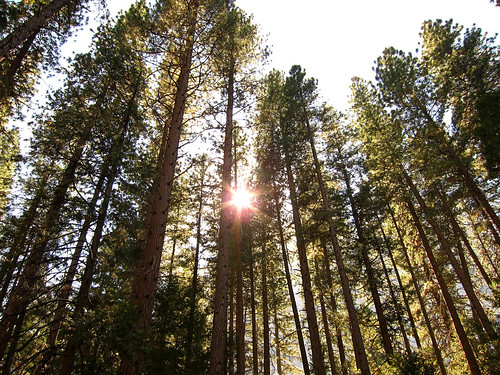 Sun Through the Trees, Lower Pines