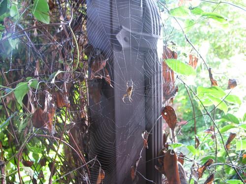 gutter spider