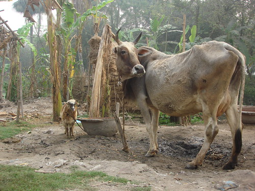 Typical smallholder livestock household in Berhampore Village, West Bengal, India