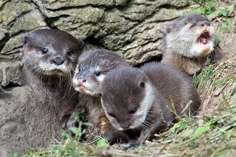 three fuzzy baby otters with adult otter