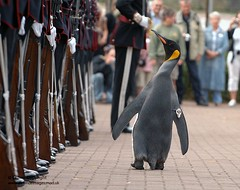 Nils Olav the Penguin inspects the Kings Guard...