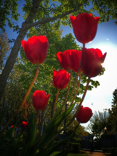 ios 2017 iphone7 iphoneography iphone redtulips red tulips
