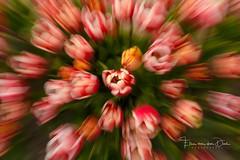 Tulip Explosion